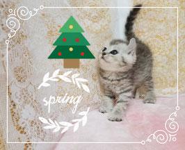 格安子猫。猫の部屋セイワ!可愛いアメリカンカールの子猫です。