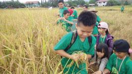 稲刈り体験の様子 (マレーシア)