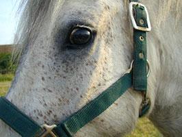 Pferd Bautz