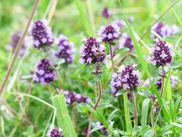 Quendel, wilder Thymian, essbare Wildpflanzen, Hustentee