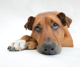 Chien qui s'ennuie. Le chien marron à poils courts est couché et lève les yeux au ciel.