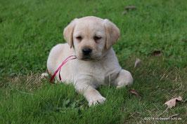 6 Wochen junger Labrador