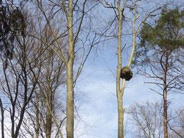 Baumkrebs in schwindelnder Höhe