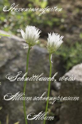 Hexenrosengarten Kräuter Schnittlauch weiß Allium schoenoprasum Album Büte