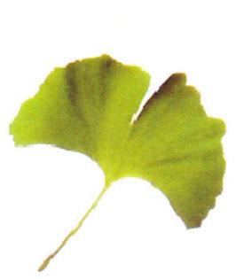 イチョウ葉の薬理効果として、認知症の予防、記憶力アップなどがあります。