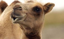 Zudecke Kamelflaumhaar