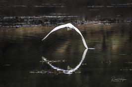 Aigrette blanche /6372