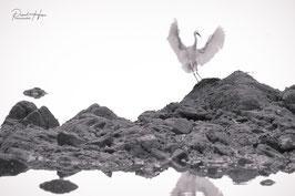 Grandes ailes d'Aigrette /6286