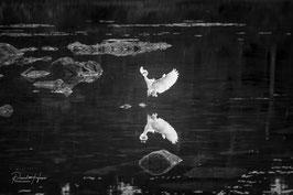 Retour d'Aigrette blanche /6291