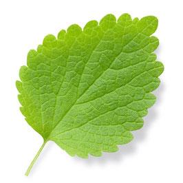 Brennnessel Blätter Extrakt - 4% Polyphenole