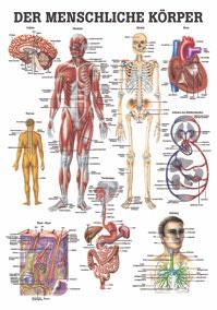 """Lehrtafel """"Der menschliche Körper"""""""