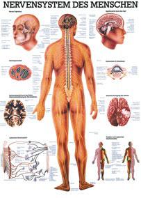 """Lehrtafel """"Nervensystem des Menschen"""""""