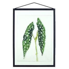 Polkadot plant