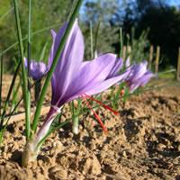 Bulbes de safran de Provence, prêts à planter