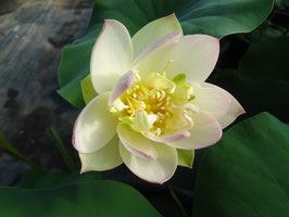 Nelumbo Little Green and Pink ID-2014-1