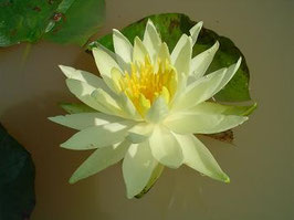 Nymphaea Yellow Princess