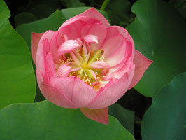 Nelumbo Riches and Honours