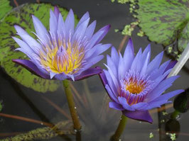 Nymphaea King Bo