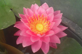 Nymphaea New Wedding Lily