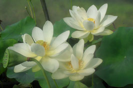 Nelumbo Polaris