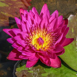 Nymphaea Hot Pink - Import