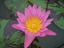 Nymphaea Queen of Siam