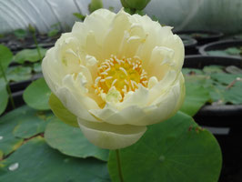 Nelumbo Fuling Autumn LY-10