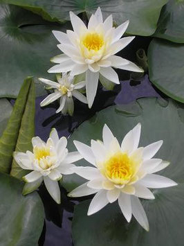 Nymphaea M. Evelyn Stetson