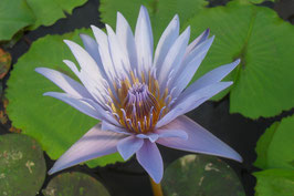 Nymphaea Star of Siam