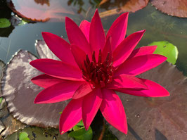 Nymphaea Red Nightbloomer English Red