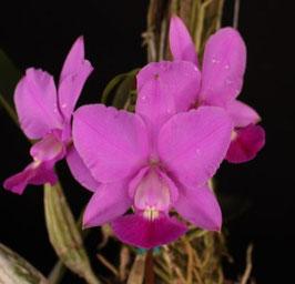 Cattleya walkeriana tipo (Camandu x self) x sib