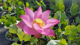 Nelumbo Lotusland's Raspberry Beauty