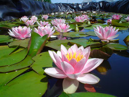 Nymphaea Marliacea Flammea Thai XL