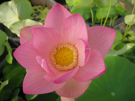 Nelumbo Rose