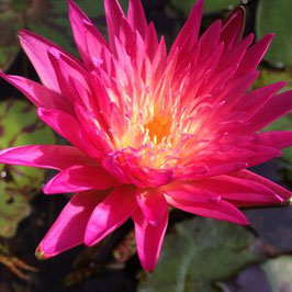 Nymphaea Peach Twist - Import