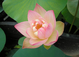 Nelumbo Pink and Yellow