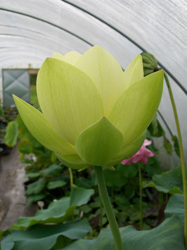 Nelumbo Perry's Giant Sunburst