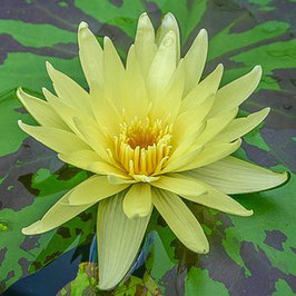 Nymphaea Key Lime - Import
