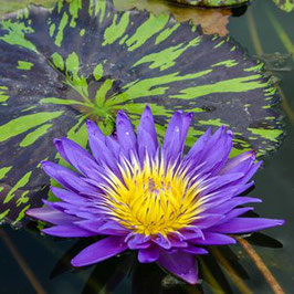 Nymphaea Blue Aster - Import