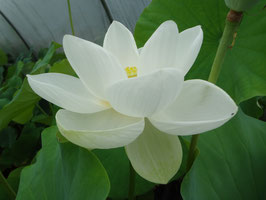 Nelumbo Alba Grandiflora