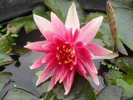 Nymphaea Charlie's Choice