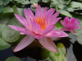 Nymphaea Siam Marble
