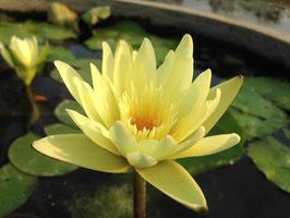 Nymphaea Ripe Golden / Thong Sook