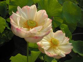 Nelumbo Lushan Bailian / Weißer Lotos aus Lushan