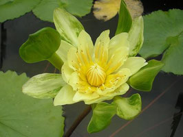 Nymphaea Indian Goddess Gelb