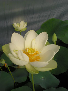 Nelumbo Louise Slocum