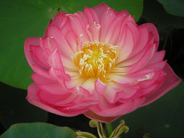 Nelumbo Holy Fire
