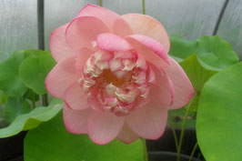 Nelumbo  Strawberry Blonde