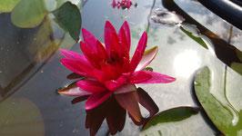 Nymphaea Black Cherry