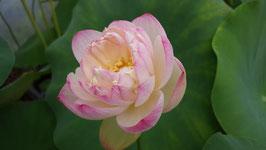Nelumbo Lotusland's Cherie Cherie